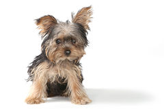 Teacup Yorkshire Terrier on White Background royalty free stock photography