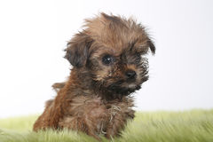 Teacup Yorkshire Terrier on White Background Stock Photo