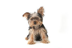 Teacup Yorkshire Terrier on White Background stock photos