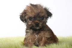 Teacup Yorkshire Terrier on White Background Stock Photography