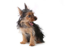 Teacup Yorkshire Terrier on White Background Stock Images