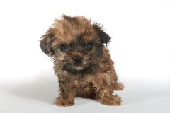 Teacup Yorkshire Terrier on White Background stock image