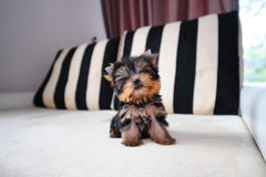 Teacup yorkshire terrier stock photo