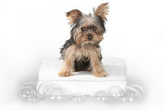 Teacup Yorkshire Terriers on White Bathing royalty free stock photos
