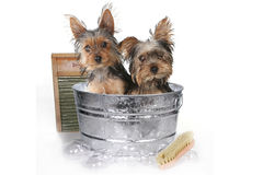 Teacup Yorkshire Terriers on White Bathing Stock Photography
