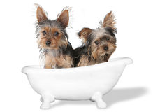 Teacup Yorkshire Terriers on White Bathing Royalty Free Stock Image