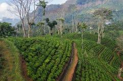 Teafield в холмах Шри-Ланки Стоковые Фотографии RF