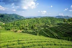 Teafield on Mae Salong mountain, Chiang rai, Thailand. Shoot on the mountain stock images