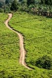Teafields vert clair avec la route de sable passant  Photos stock