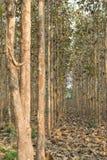Teak δέντρα Στοκ Εικόνες