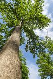 Teak δέντρο Στοκ φωτογραφία με δικαίωμα ελεύθερης χρήσης