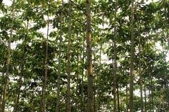 Teak δέντρο Στοκ φωτογραφίες με δικαίωμα ελεύθερης χρήσης
