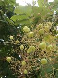 Teak foliage and fruits on tree. Teak foliage and fruits in tropical botanic garden Royalty Free Stock Photos