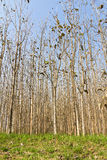 Teak forest Royalty Free Stock Photo