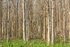 Teak forest Stock Photo