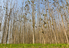 Teak forest. Teak trees at agricultural forest in summer Royalty Free Stock Images