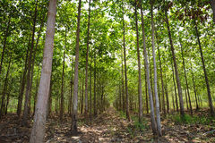Teak forests. To the environment Royalty Free Stock Image