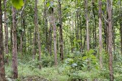Teak grandis Tectona вид высококачественной деревянной продукции Большие деревья, прямо trunked, могут вырасти до 30-40 m высокор стоковое фото