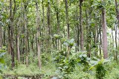 Teak grandis Tectona вид высококачественной деревянной продукции Большие деревья, прямо trunked, могут вырасти до 30-40 m высокор стоковое изображение