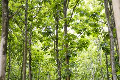 Tectona grandis Teak is a kind of high-quality wood production. Large trees, straight trunked, can grow to 30-40 m tall. Big leaf,. Teak is a kind of high stock photos