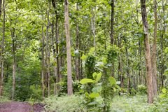 Tectona grandis Teak is a kind of high-quality wood production. Large trees, straight trunked, can grow to 30-40 m tall. Big leaf,. Teak is a kind of high stock photo