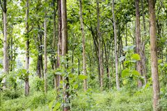 Tectona grandis Teak is a kind of high-quality wood production. Large trees, straight trunked, can grow to 30-40 m tall. Big leaf,. Teak is a kind of high royalty free stock image