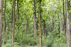Tectona grandis Teak is a kind of high-quality wood production. Large trees, straight trunked, can grow to 30-40 m tall. Big leaf,. Teak is a kind of high royalty free stock photo