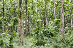 Tectona grandis Teak is a kind of high-quality wood production. Large trees, straight trunked, can grow to 30-40 m tall. Big leaf,. Teak is a kind of high royalty free stock photography