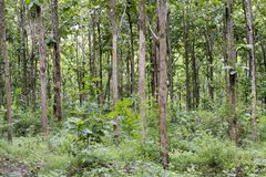 Tectona grandis Teak is a kind of high-quality wood production. Large trees, straight trunked, can grow to 30-40 m tall. Big leaf,. Teak is a kind of high stock image