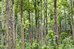 Tectona grandis Teak is a kind of high-quality wood production. Large trees, straight trunked, can grow to 30-40 m tall. Big leaf,. Teak is a kind of high stock images