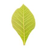 Teak Leaf Clipping Path Royalty Free Stock Photography