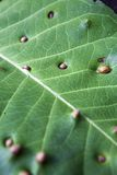 Teak Leaf Stock Image