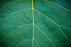 Teak leaf. Closeup leaf texture.Teak leaf Royalty Free Stock Images