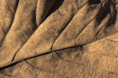 Teak leaf Royalty Free Stock Photos