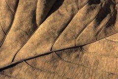 Teak leaf. Dry teak leaf texture and background Royalty Free Stock Photos