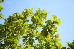 Teak leaf Stock Photos