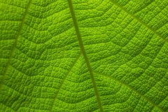 Teak leaves pattern NO.01 royalty free stock photos