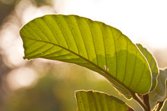 Teak Leaves texture Royalty Free Stock Photography