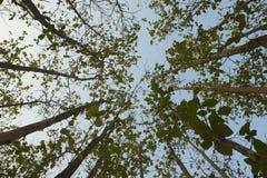 Teak natural forest, Luang Prabang, Laos Stock Photography