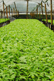Teak plantation Stock Photo