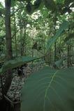 Teak plantation Royalty Free Stock Images