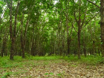 Teak Plantation Stock Photography