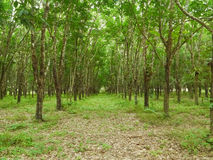 Teak Plantation Stock Photo