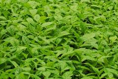 Teak plants. Growing in greenhouse, Darien plantation, Panama, Central America Royalty Free Stock Image