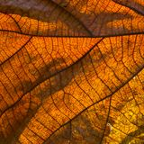 Teak's dry leaf Royalty Free Stock Images