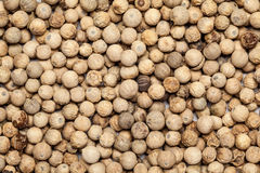 Teak seed untreated (tectona grandis ) Stock Photo