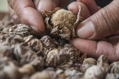 Teak seeds and hand closeup. Hand held teak seeds for planting prepared Royalty Free Stock Photos