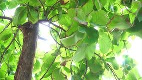 Teak tree stock video