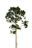 Teak tree isolated Royalty Free Stock Photo
