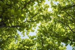 Teak tree low angle view Stock Image